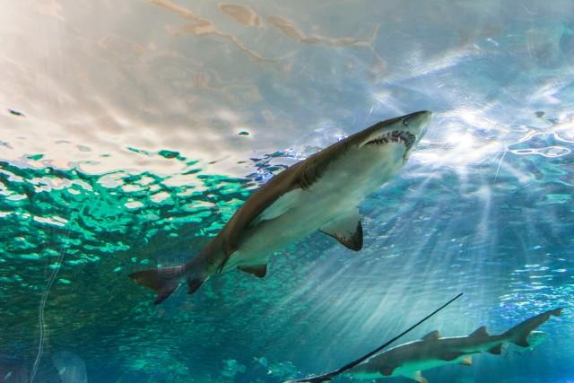 Tiburon diamante acuario Toronto